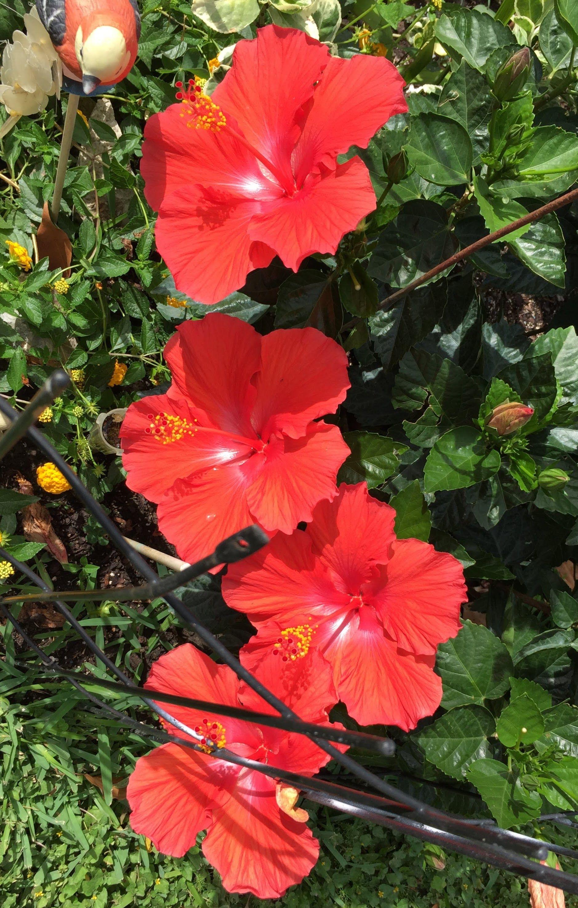 Pin by elena reyes m on flowers plants pinterest hibiscus pin by elena reyes m on flowers plants pinterest hibiscus beautiful flowers and plants izmirmasajfo