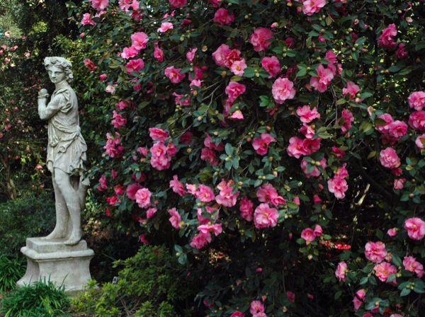 camellia Brigadoon Pasadena nursery Nuccios Huntington ...