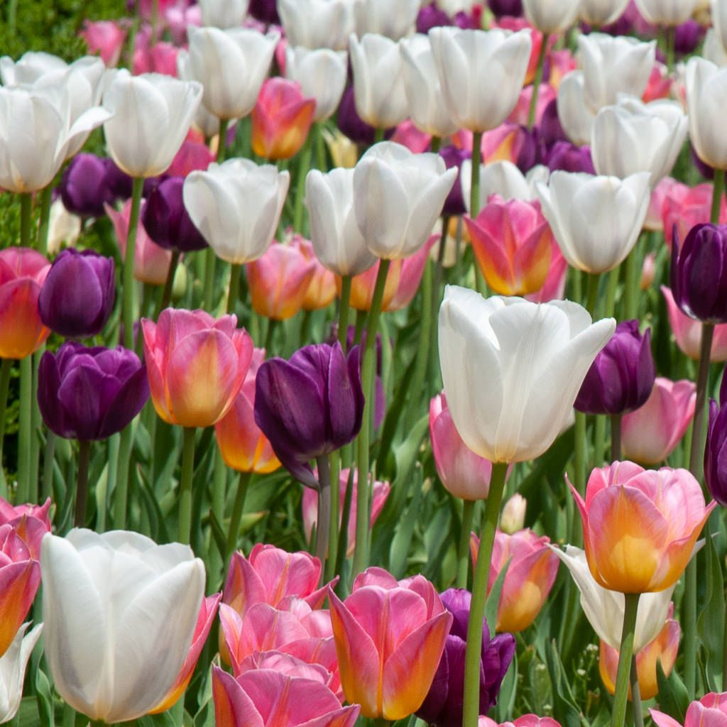 Tulip Blends Dutch Flower Bulbs at wholesale prices