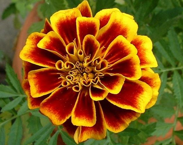 Daftar Nama Bunga Gambar Bunga Cantik Indah Unik Dan