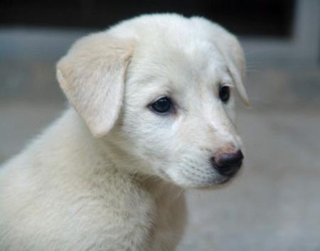 White Shepherd Lab Mix Labrador Retriever Labrador Retriever