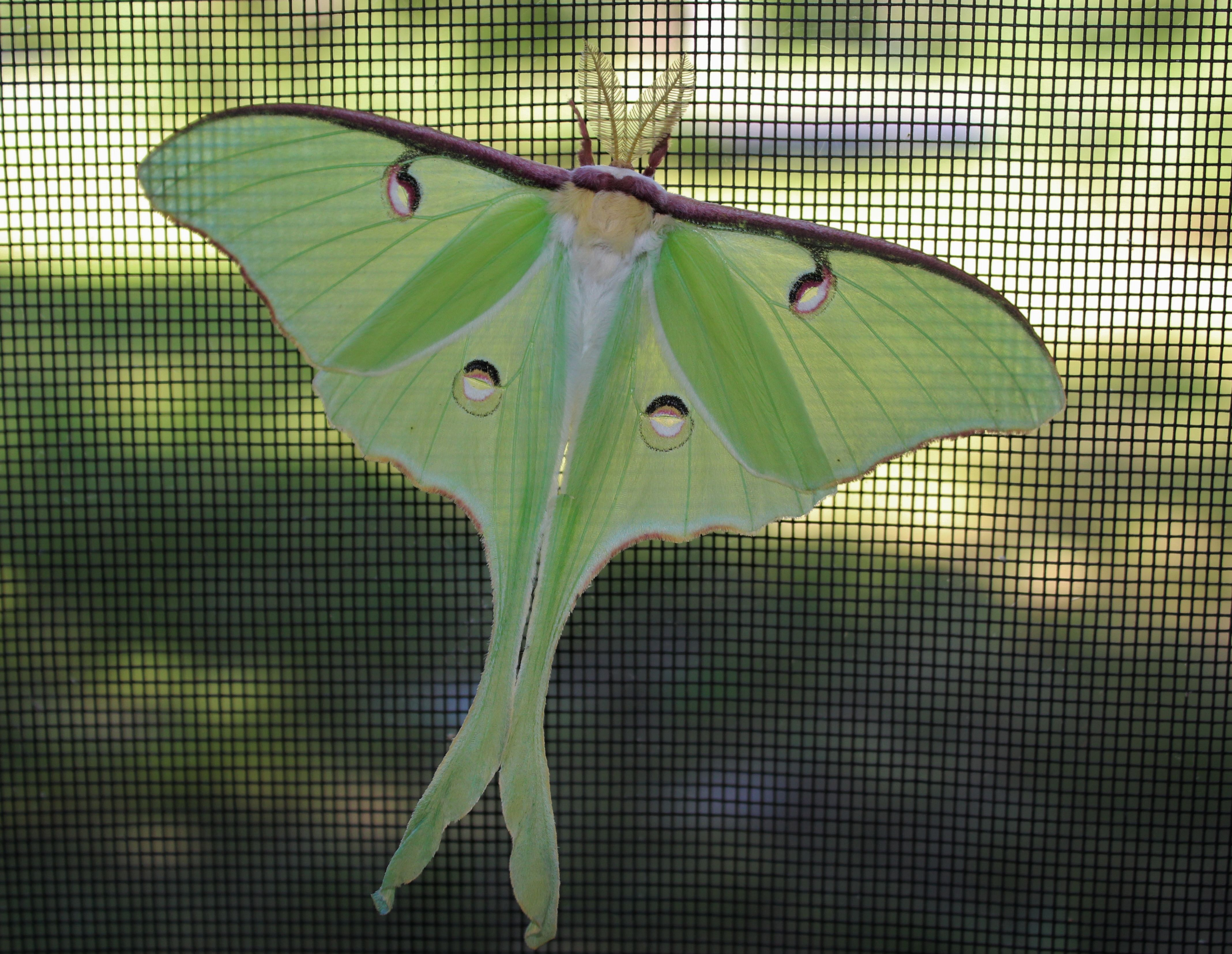 This is a luna moth I found while in Wisconsin, set it free after photo.