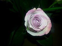 Rose, Rosa Pink, Flor