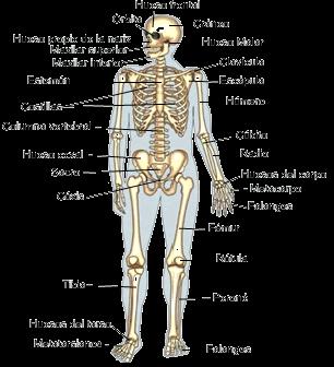 25 melhores ideias de Anatoma del cuerpo humano no Pinterest