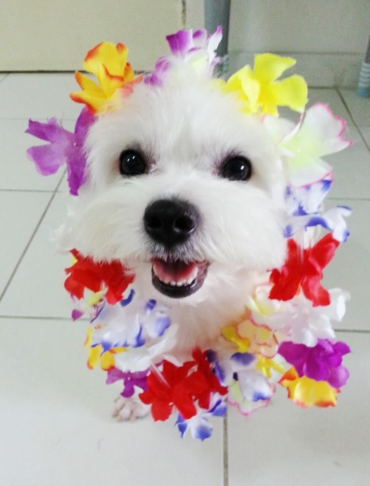 Doing The Hula In Hawaii Maltese Dogs Maltese Puppy I Love Dogs