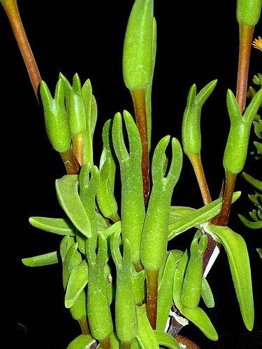 Mitrophyllum Grande Google Search Plante
