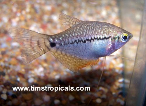 Blue Pearl Gourami Cool Fish Fish Aquarium Fish