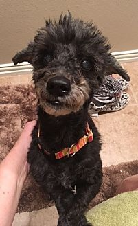 Pictures Of Roussel A Poodle Miniature For Adoption In Dallas