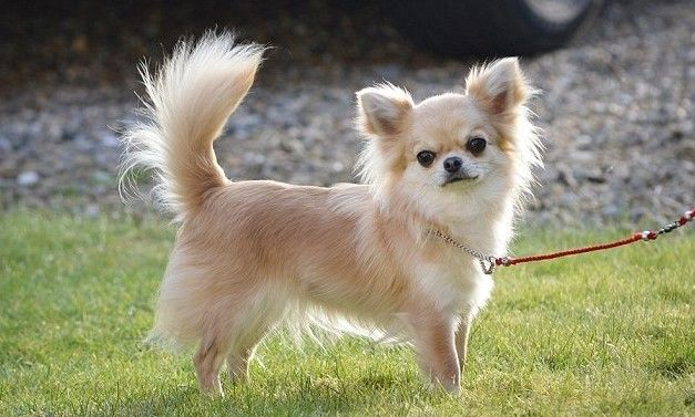 10 Most Popular Dog Breeds In India Chihuahua Dogs Chihuahua
