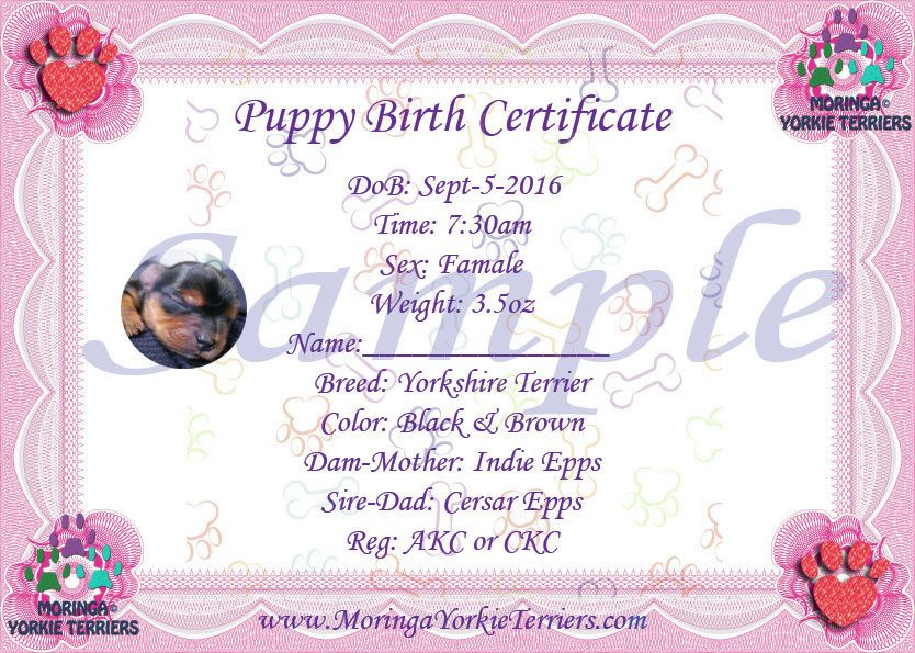 Female Yorkie Terrier Birth Certificate  Yorkie Birth