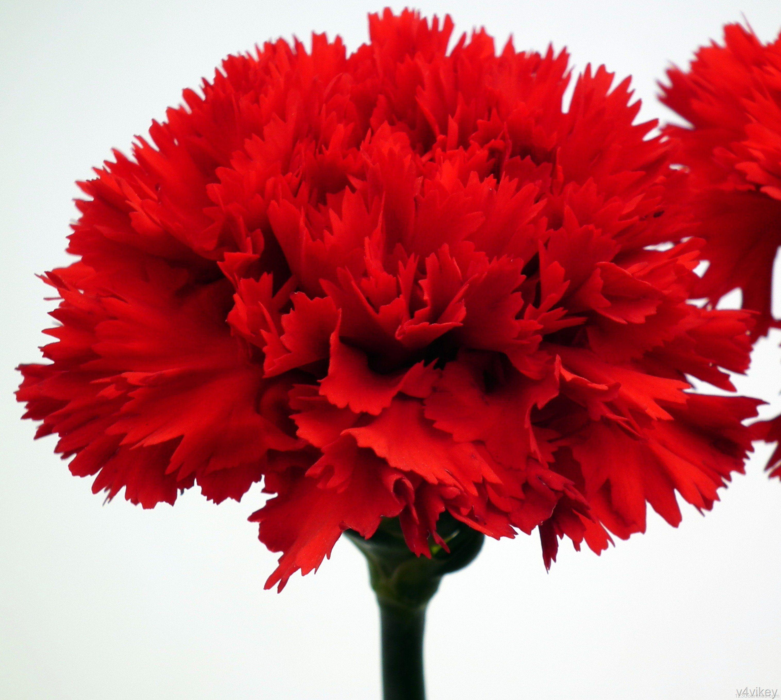 Red Carnation National Flower Of Spain Flower Seeds Online Carnation Flower Flower Seeds