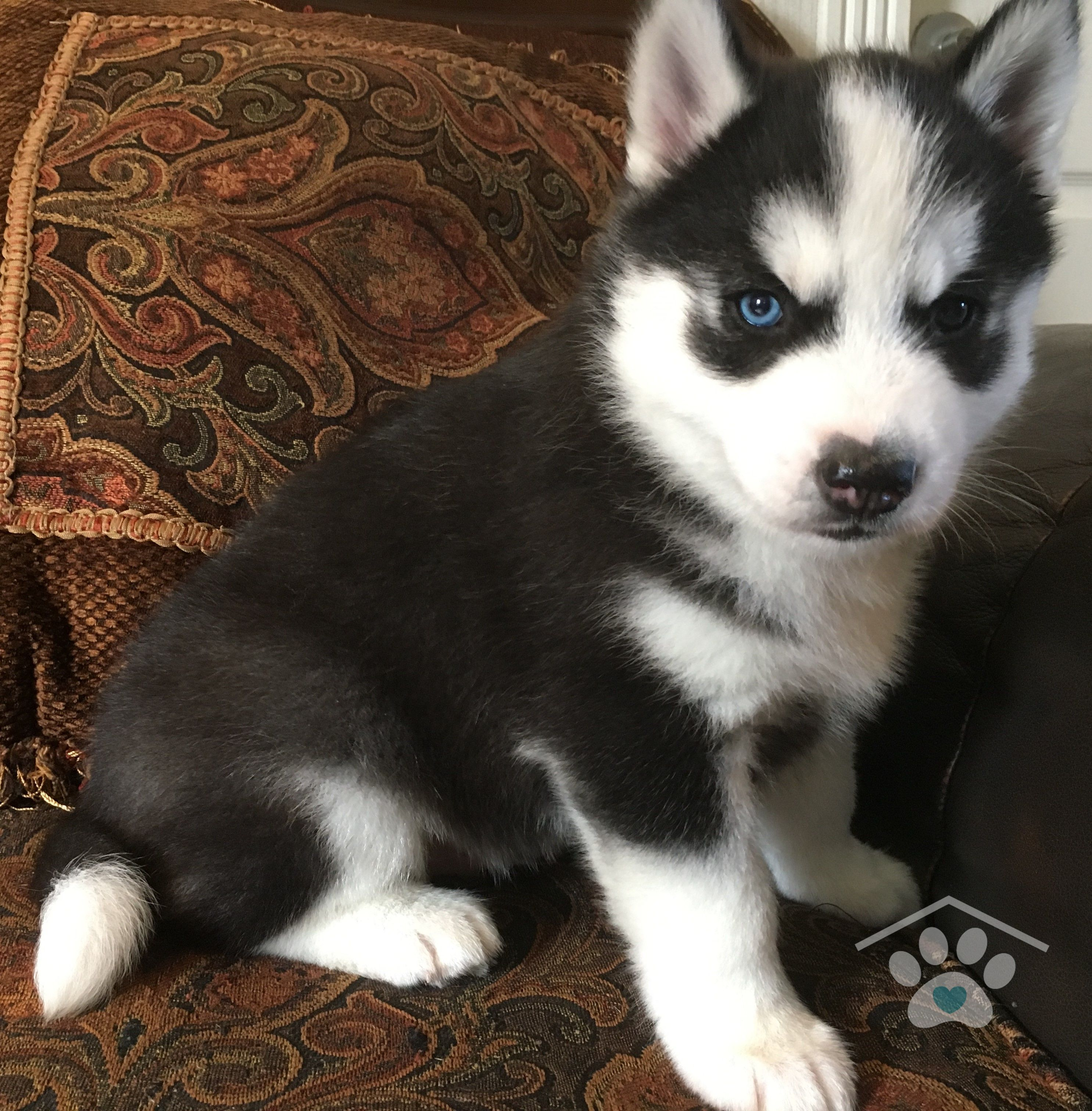 My Name Is Togo I M A Black And White Siberian Husky Male Some