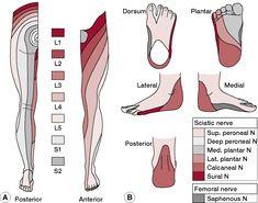 Dermatome  definition of dermatome by Medical dictionary  Nurse