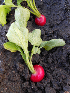 Growing Radishes 101 | In The Garden | Pinterest | Gardens Vegetable Garden And Garden Ideas