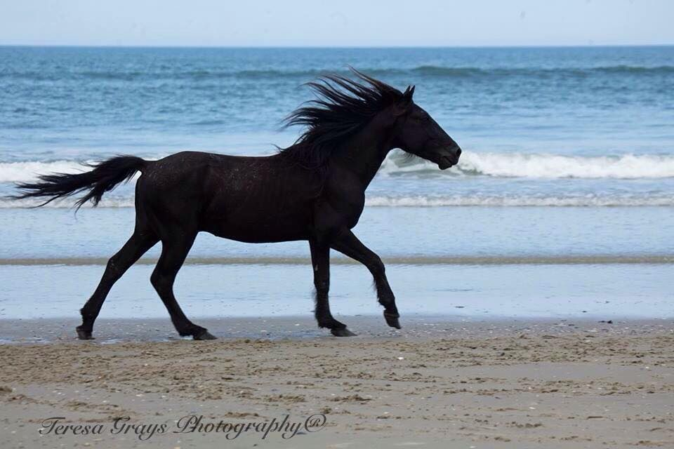 Black Stallion running the beach
