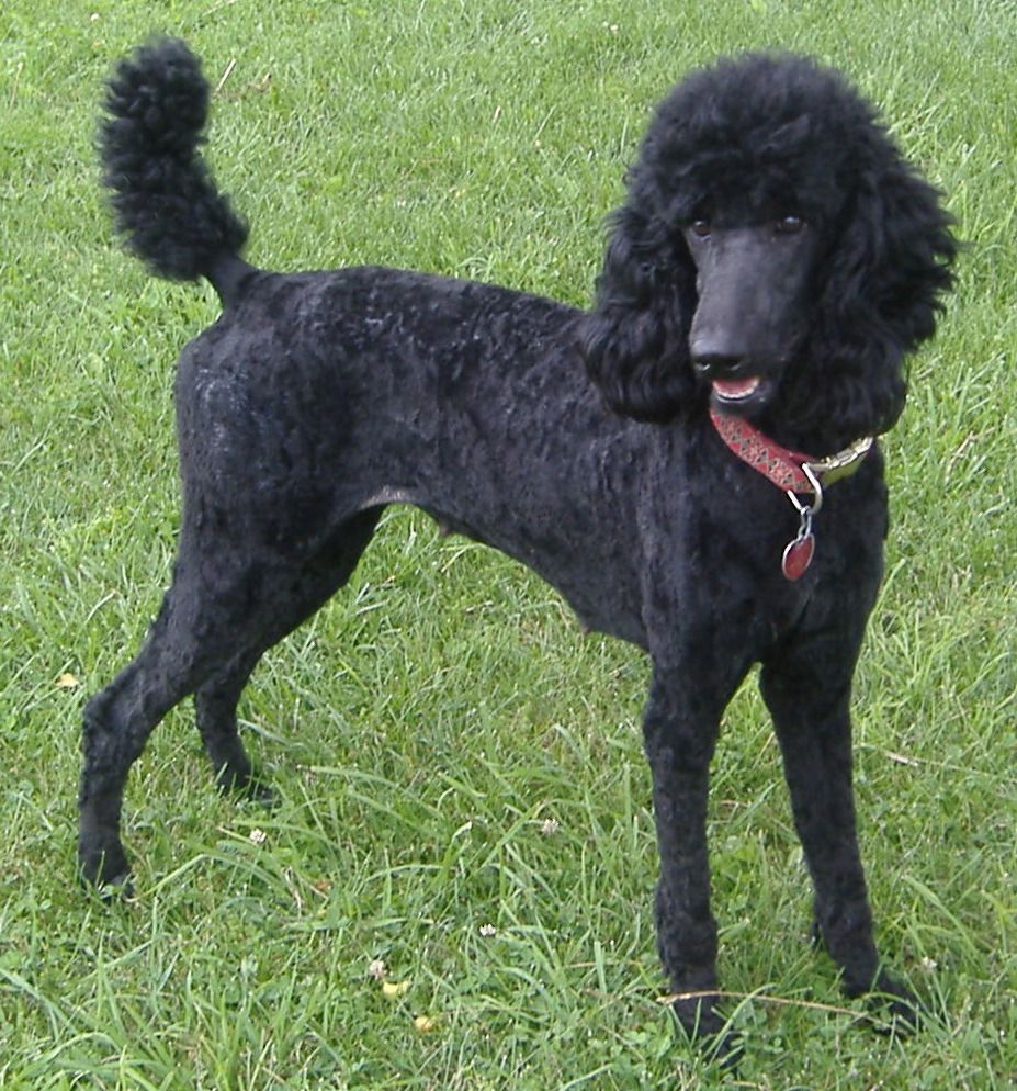 Canined Groomed Black Standard Poodle Dog Central Park Nyc 31409
