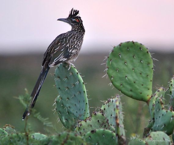 Road Runner perched on a Prickly Pear Cactus