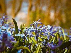 Hasenglöckchen, Blumen, Blau