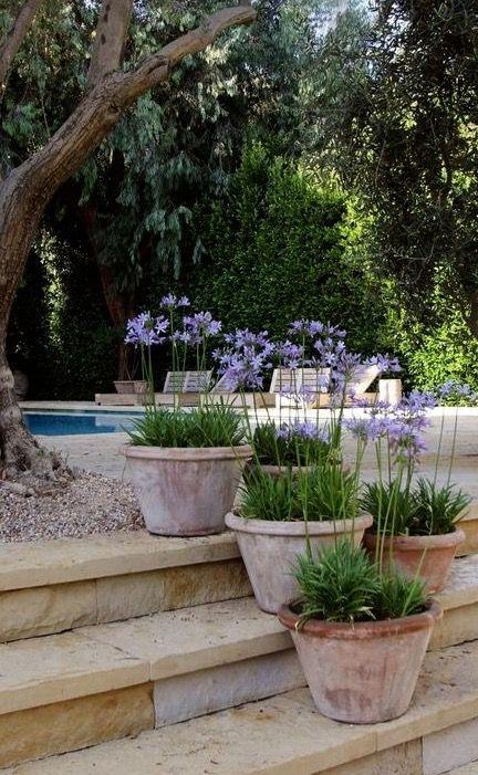Agapanthus \u0027Navy Blue\u0027 in Pots, ♥♥♥ re pinned by www - maceteros para jardin
