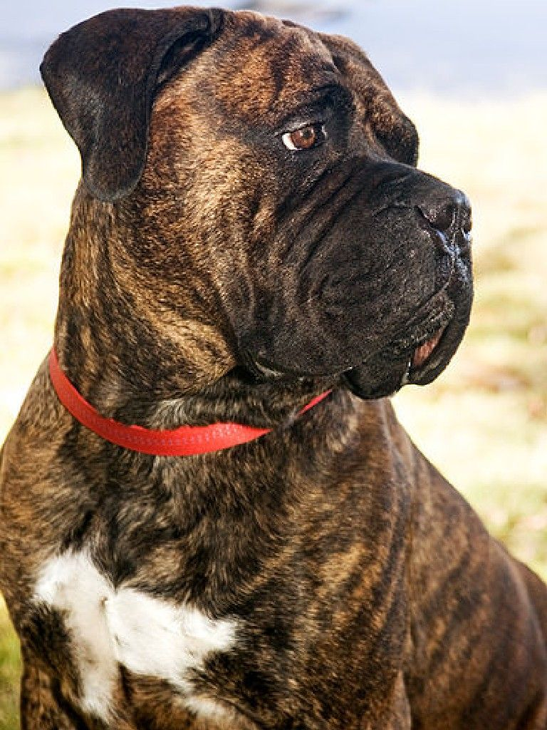 Brindle Bullmastiff D Bucket List Pinterest Dog