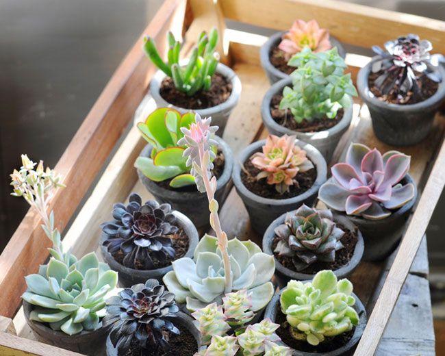 faire pousser des succulentes pour les offrir aux invit s de son mariage succulentes petites. Black Bedroom Furniture Sets. Home Design Ideas