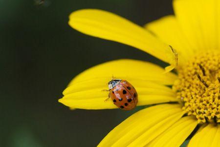 A lady bird beetle on a false sunflower