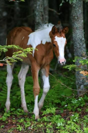 2013 Paint foal: Limited Edition Kid bred by LB Ranch & Tack, owned by Erin Huskilson