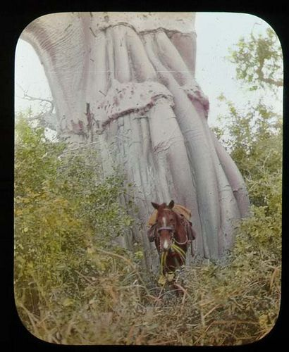 Detail of trunk of Baobab Tree by The Field Museum Library, via Flickr 1906