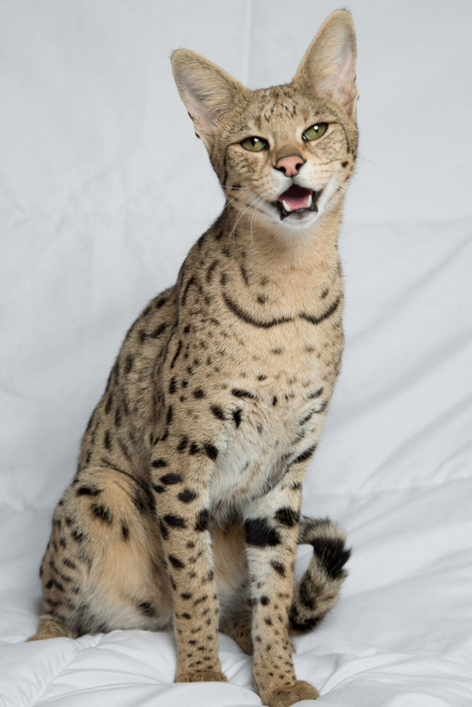 11 Cute A1 Savannah Cat Price In 2020 Savannah Cat Price Savannah Cat Hybrid Cat