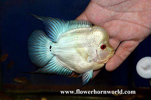 Live Flowerhorn Fish for Sale (Cichlid, Louhan, La Hán) 花