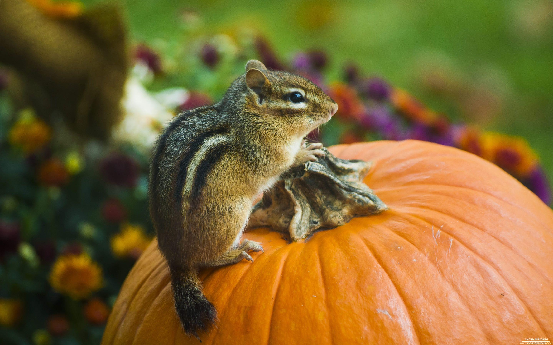 chipmunk-pumpkin-10-18-2012_macbook-pro-2880x1800.jpg (2880×1800)