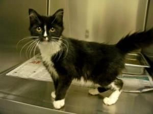Morticia Is An Adoptable Domestic Medium Hair Black And White Cat In