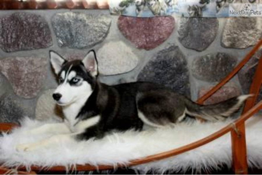 Siberian Husky Pup Lifetime Health Guaranteed Female Siberian Husky Husky Siberian Husky For Sale