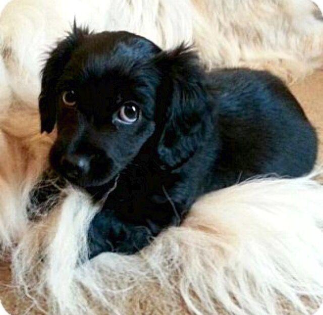 Spaniel X Daschund Pup Dachshund Breed Dachshund Training Dog