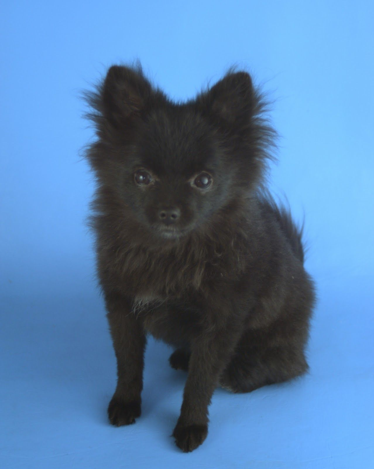 Melisa S Bears What Am I Working On Now Black Pomeranian Puppies Pomchi Puppies Pomeranian Puppy