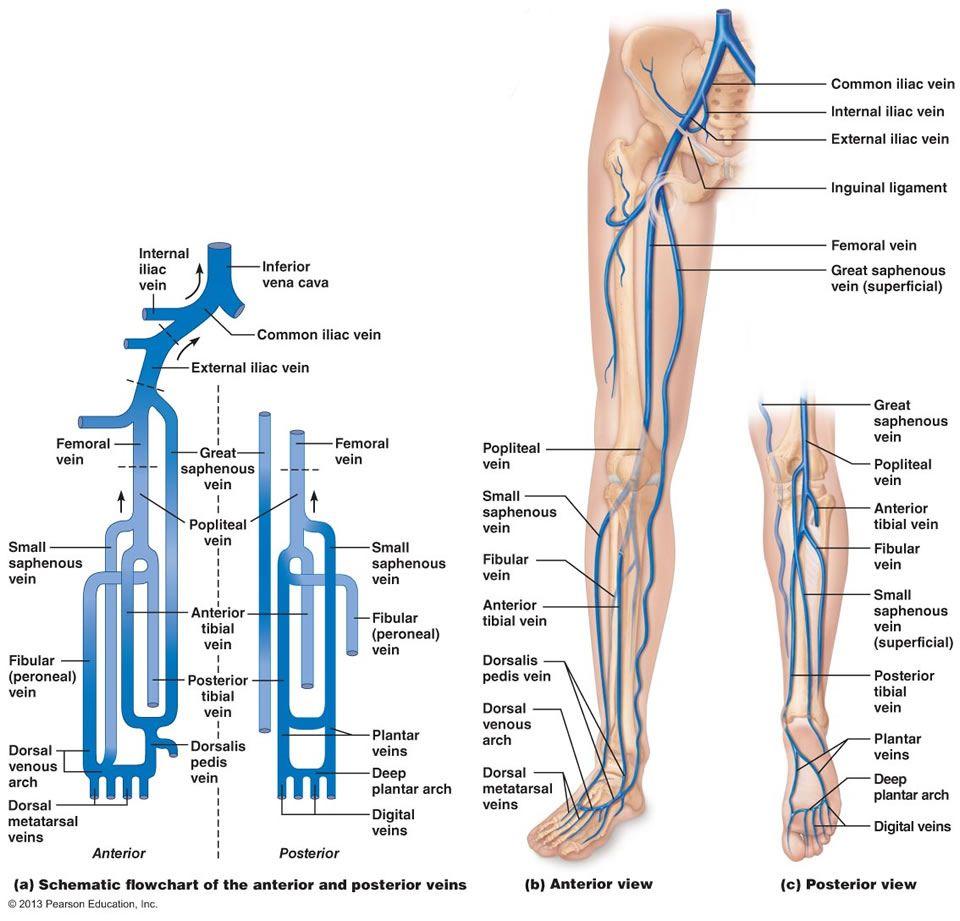 lower leg veins」の画像検索結果 | lower leg vein | Pinterest ...