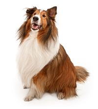 Shetland Sheepdog Dog Breeds Dog Breed Selector Shetland Sheepdog