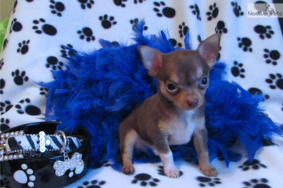 Teacup Chihuahua Male Gizmo Teacup Chihuahua Chihuahua Puppies