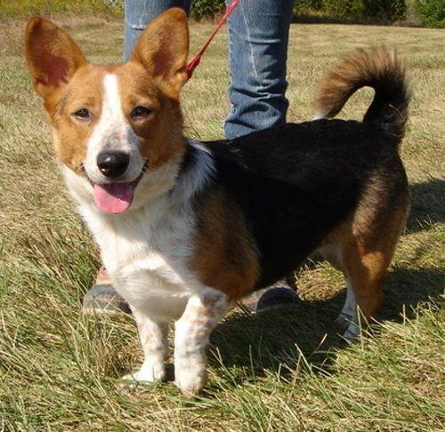 Corgi Beagle Mix Dogs Corgi Beagle Mix Corgi Beagle Beagle Mix
