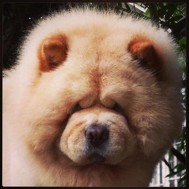Simple Akita Chubby Adorable Dog - b52339c80abb95ecc45b2910bd8b208d  Picture_613525  .jpg