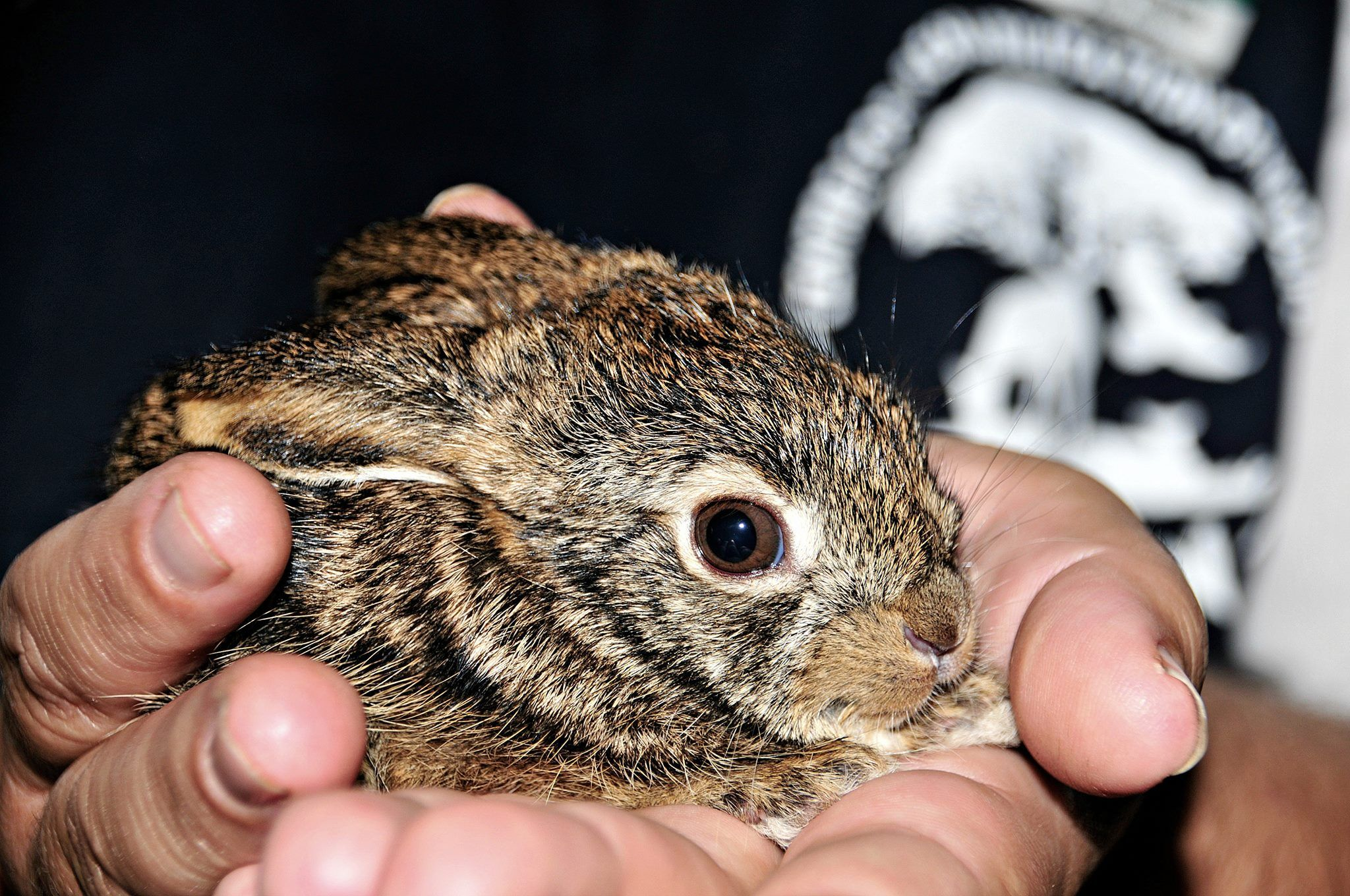 This Baby Scrub Hare Is One Of The Many Spring Babies That Are
