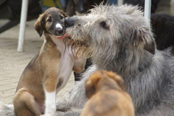 Barsois und Irish Wolfhounds, Züchter in DWZRV und VDH