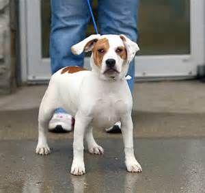 American Bulldog Beagle Mix Yahoo Search Results Yahoo Image