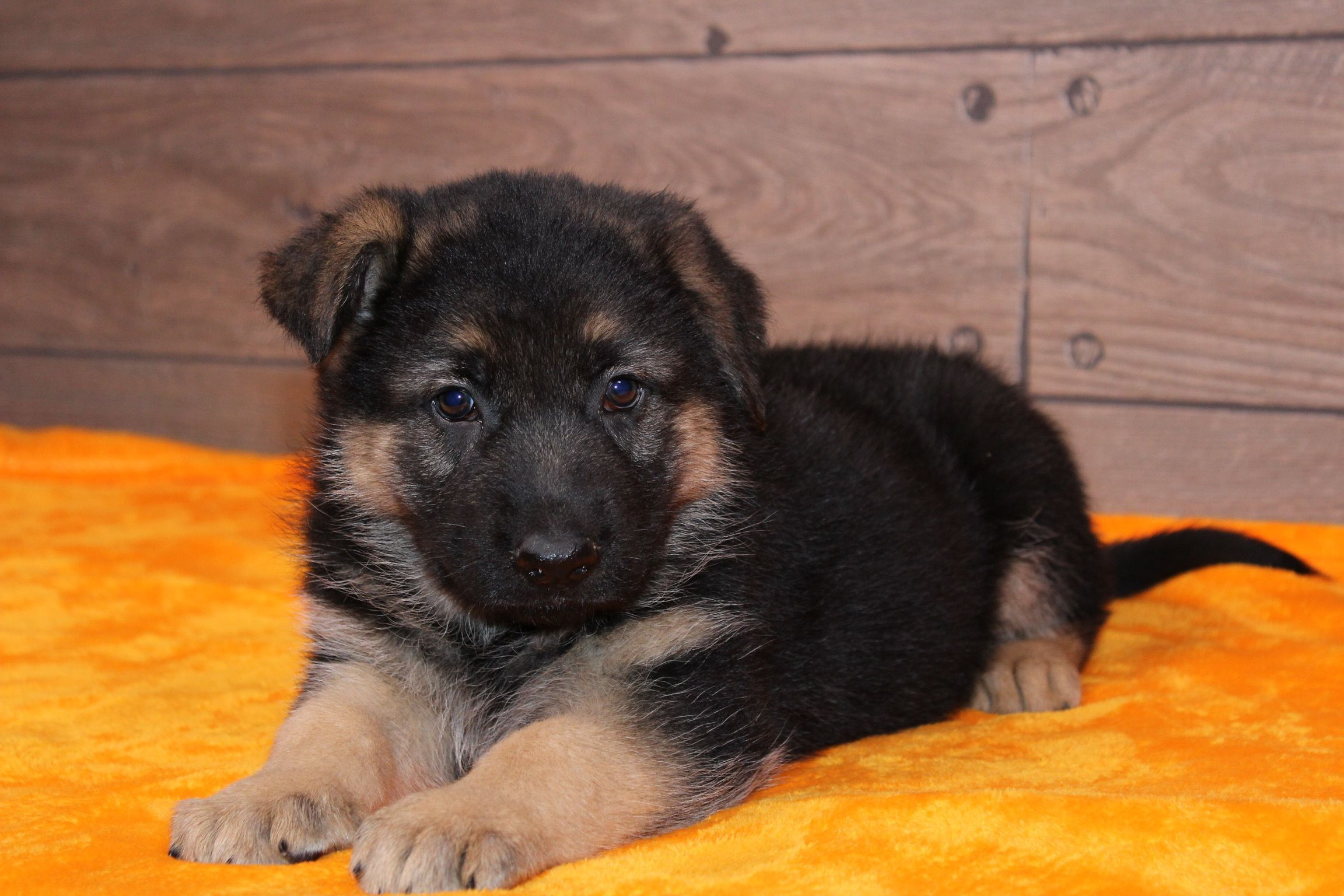 Jasper A Male Akc German Shepherd Puppy For Sale In Nappanee Indiana Find Cute German Shep With Images Mastiff Puppies For Sale English Mastiff Puppies