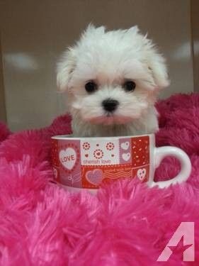 Teacup Maltese Puppy For Sale In California Teacup Puppies