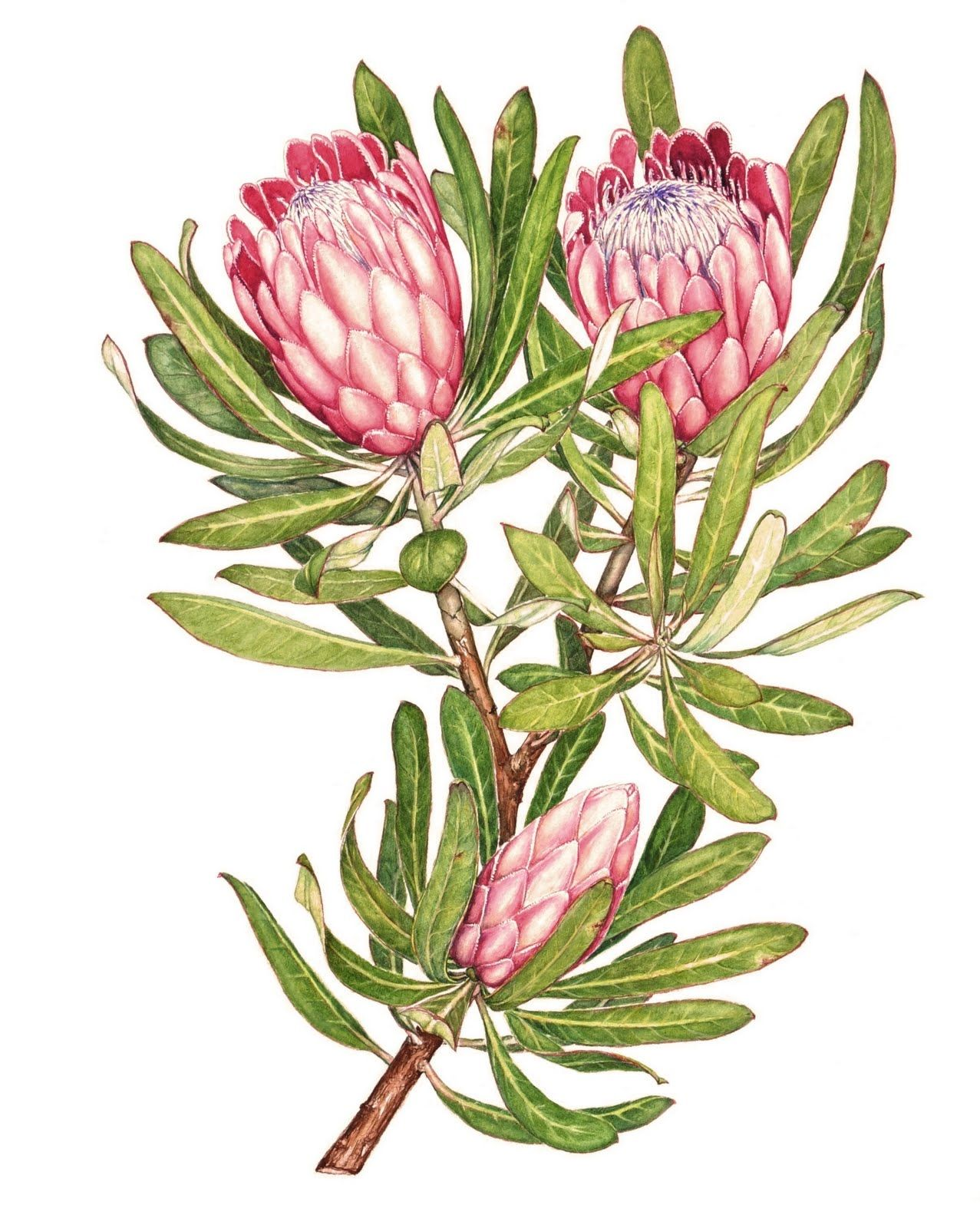 Proteas By Heidi Siebrits Kriel Botanical Drawings Botanical Art Protea Art