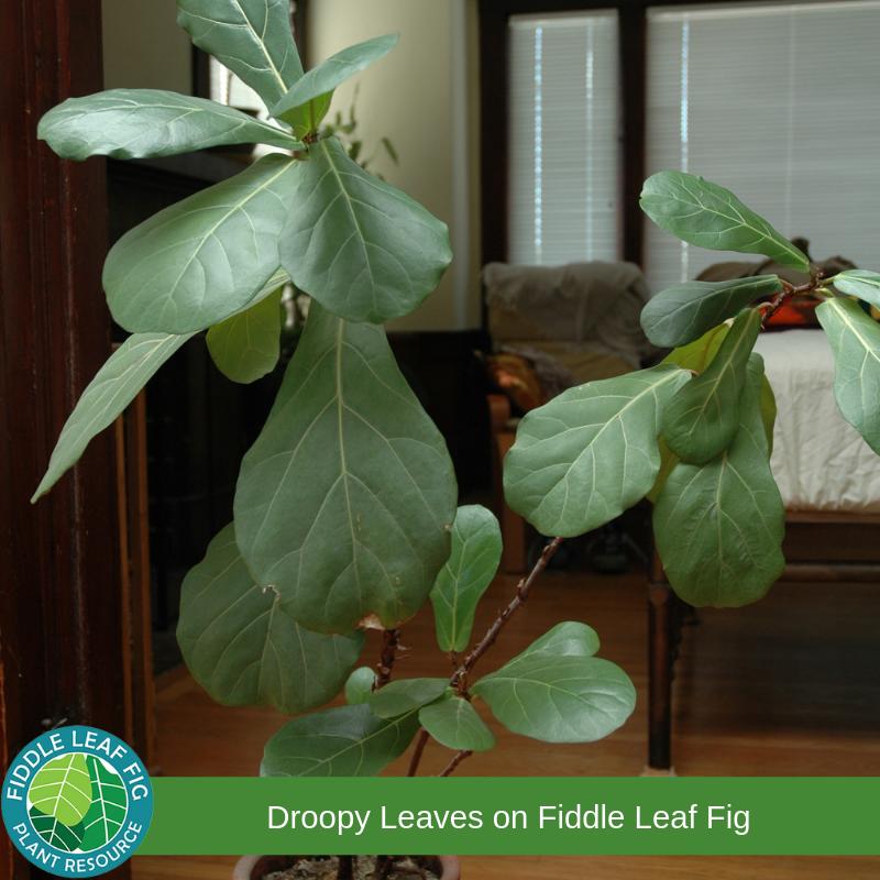 Fiddle Leaf Fig Droopy Leaves Fiddle Leaf Fig Fiddle Leaf Fig Tree Fiddle Leaf