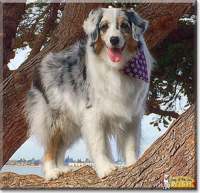 Wish Australian Shepherd March 25 2014 Australian Shepherd Aussie Dogs Dogs