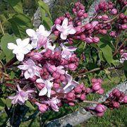 Sweetheart Lilac