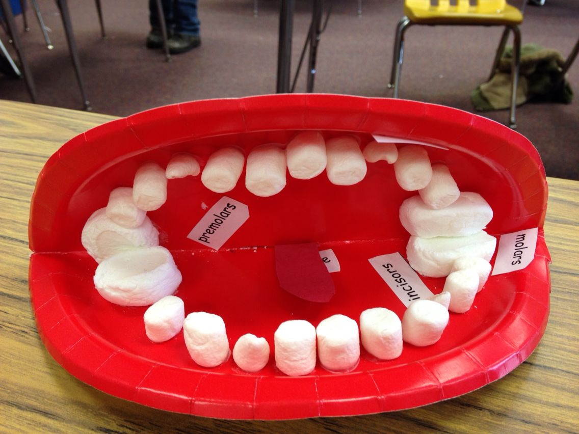 Model Mouth With Marshmallows And Labels For Types Of